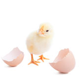 The yellow small chick with egg Royalty Free Stock Images