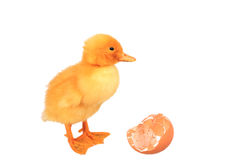 Yellow small duck with egg Royalty Free Stock Photo