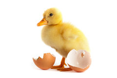 Yellow small duckling Stock Image