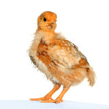Yellow Small Easter Chicken Isolated. Royalty Free Stock Photos