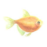 Yellow small fish. Yellow aquarium small fish a ternetion on a white background. Watercolor painting Royalty Free Stock Images