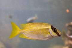 A yellow small fish stock photography