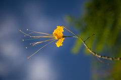 Yellow small flower of Cassia. In summer with a blue sky Stock Photo