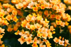 Small orange, yellow flowers  Royalty Free Stock Images