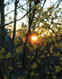 Yellow small flowers in sunset. Yellow small flowers on the tree, dogwood , yellow bright inflorescences, wood and sunset, the light of the sun of the yellow sun stock photo