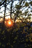 Yellow small flowers in sunset. Yellow small flowers on the tree, dogwood , yellow bright inflorescences, wood and sunset, the light of the sun of the yellow sun stock photography