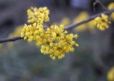 Yellow small flowers on branch. Yellow small flowers on the tree, dogwood , yellow bright inflorescences, tree fruit tree, photo for design and background royalty free stock images