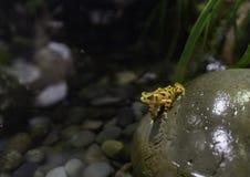 Yellow small frog preparing jump from the rock. At California Academy of Sciences at San Francisco Royalty Free Stock Images