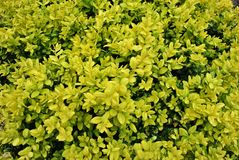Yellow small leaves, natural organic plant background texture stock photos