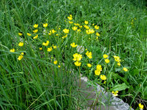 Yellow small wiesenblumen of buttercups among the spring green grass Royalty Free Stock Image