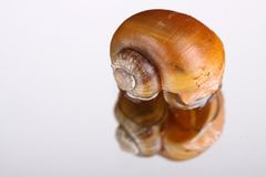 A yellow snail. A macro of a little yellow snail Stock Photography