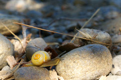 Yellow snail climbing over rocks on a river bank. Small yellow snail climbing over rocks in the shade of a tree on a sunny day on a river bank Royalty Free Stock Photography