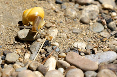 Yellow snail climbing over rocks on a river bank Stock Photo