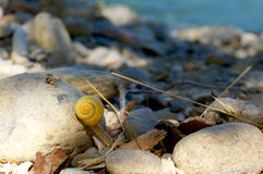 Yellow snail climbing over rocks on a river bank. Small yellow snail climbing over rocks on a sunny day on a river bank Stock Image