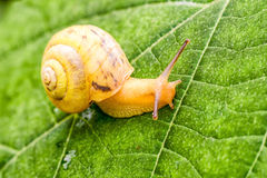 Yellow snail on leaf Royalty Free Stock Photos