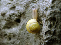 Yellow Snail. Yellow little snail on a rock royalty free stock images