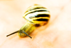 Yellow snail macro Royalty Free Stock Photos