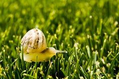 Yellow snailen arkivfoton