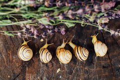 Yellow snails walking around the garden. Snail on the tree in th Royalty Free Stock Photography