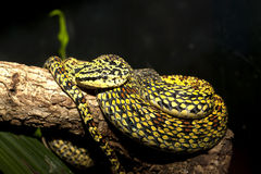 Yellow snake. Stock Images