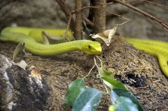 Yellow snake 2. A yellow snake / viper, lifted front on a little tree in Berlin zoo; summer 2006 stock photography