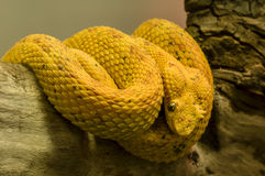 Yellow snake Royalty Free Stock Photos