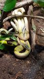 The snake. The yellow snake in Berlin aquarium Royalty Free Stock Images