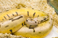 Yellow snake with black spots Royalty Free Stock Images