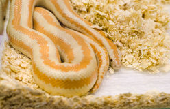 Yellow snake with orange spots Royalty Free Stock Images