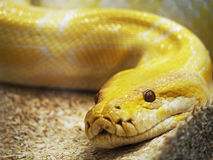 Yellow snake Stock Photography