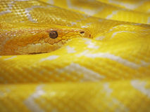 Yellow snake Stock Images
