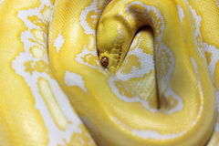 Yellow snake Royalty Free Stock Photography