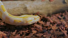 Yellow snake show tongue. In a terrarium