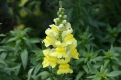 Yellow Snapdragon Stock Image