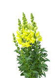 Yellow Snapdragon Flower Royalty Free Stock Photo