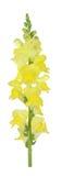 Yellow snapdragon Royalty Free Stock Image