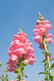 Yellow snapdragon flower under blue sky. Stock Photography