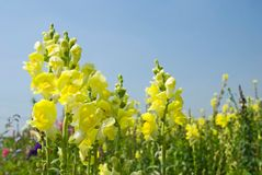 Yellow Snapdragon flowers under blue sky Royalty Free Stock Photos