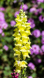 Yellow Snapdragons Stock Photography