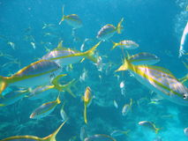 Yellow Snapper Stock Photo