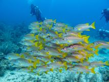 Yellow snappers and divers in Cayo Largo royalty free stock photo