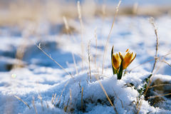 Yellow snowdrop in high mountain valley Royalty Free Stock Photos