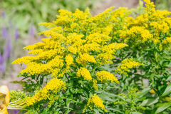 Yellow Solidago virgaurea flower Stock Photos