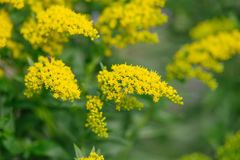 Yellow Solidago virgaurea flower Stock Image