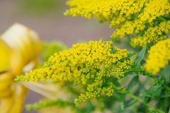 Yellow Solidago virgaurea flower Royalty Free Stock Photos