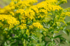 Yellow Solidago virgaurea flower Royalty Free Stock Photo