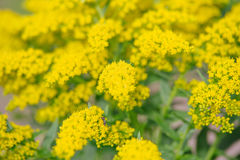 Yellow Solidago virgaurea flower Stock Photography