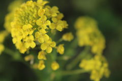 Yellow. Some mustard weed it& x27;s yellow and pretty royalty free stock photography