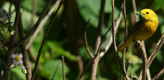 Yellow songbird with worm Royalty Free Stock Photos