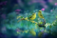 Yellow Songbirds  Stock Image